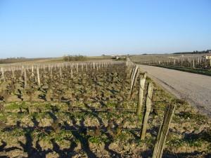 Château d'Yquem: viñedos de sémillon