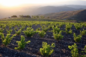 La Bodega de Alboloduy: Viñedos de Montenegro