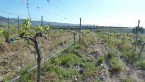 Viñedos de la IGP Desierto de Almería El mes de abril-2015 llovió mucho más de lo habitual y de ahí su verdor