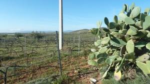 Imagen de los viñedos de la IGP. Desierto de Almería. Bodegas Perfer