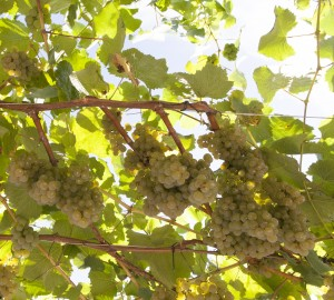 Uvas de albariño en los viñedos de Paco & Lola