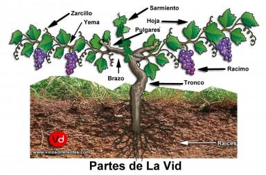 planta vid vino