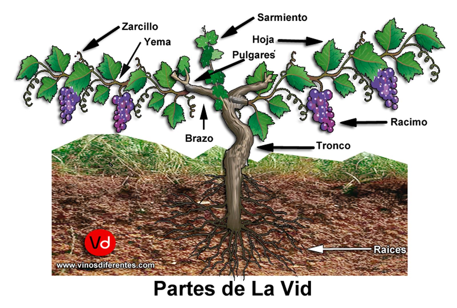 La Vid del vino es un arbusto trepador, cuyo fruto es la ...: https://vinosdiferentes.com/la-vid/