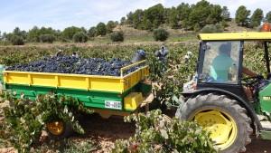 Imagen de vendimia de Bobal en Los Marcos Venta del Moro. Utiel-Requena inicia la vendimia de las variedades tintas.
