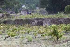 Imagen de la viña de Mas Arboset. Roqueta Origen