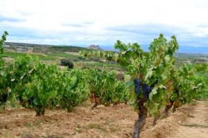 Imagen. Viñedos de la Bodega Carlos Moro