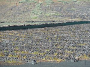 Imagen. Viñedos en otoño de Bodegas El Grifo (Lanzarote)