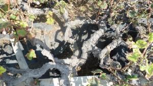 Imagen. Vid prefiloxérica de Lanzarote. En Canarias no llegó la plaga de la Filoxera.