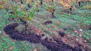 Imagen. Abonado ecológico en los viñedos de Bodegas Vehemencia