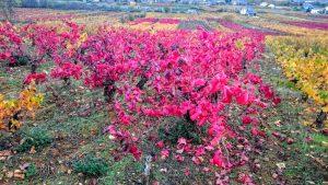 Imagen. Bodegas Vehemencia. Plantas viejas de garnacha