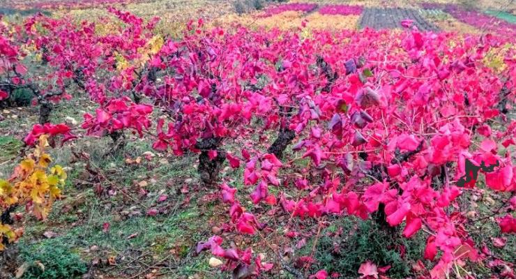 Viñedos en otoño. Un goce estético incomparable.