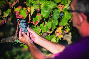 Roses: El `Must´ que hará que escapes hasta su Ruta del Vino DO Empordà