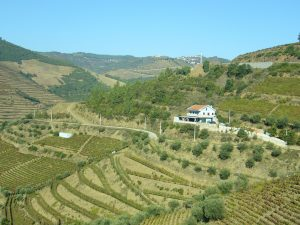 Imagen. El paisaje del viñedo del Duero ha sido considerado Patrimonio de la Humanidad por la Unesco.