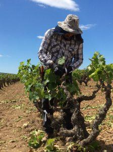 Bodegas Torres reintroduce en el Penedès una variedad ancestral de uva tinta llamada Moneu