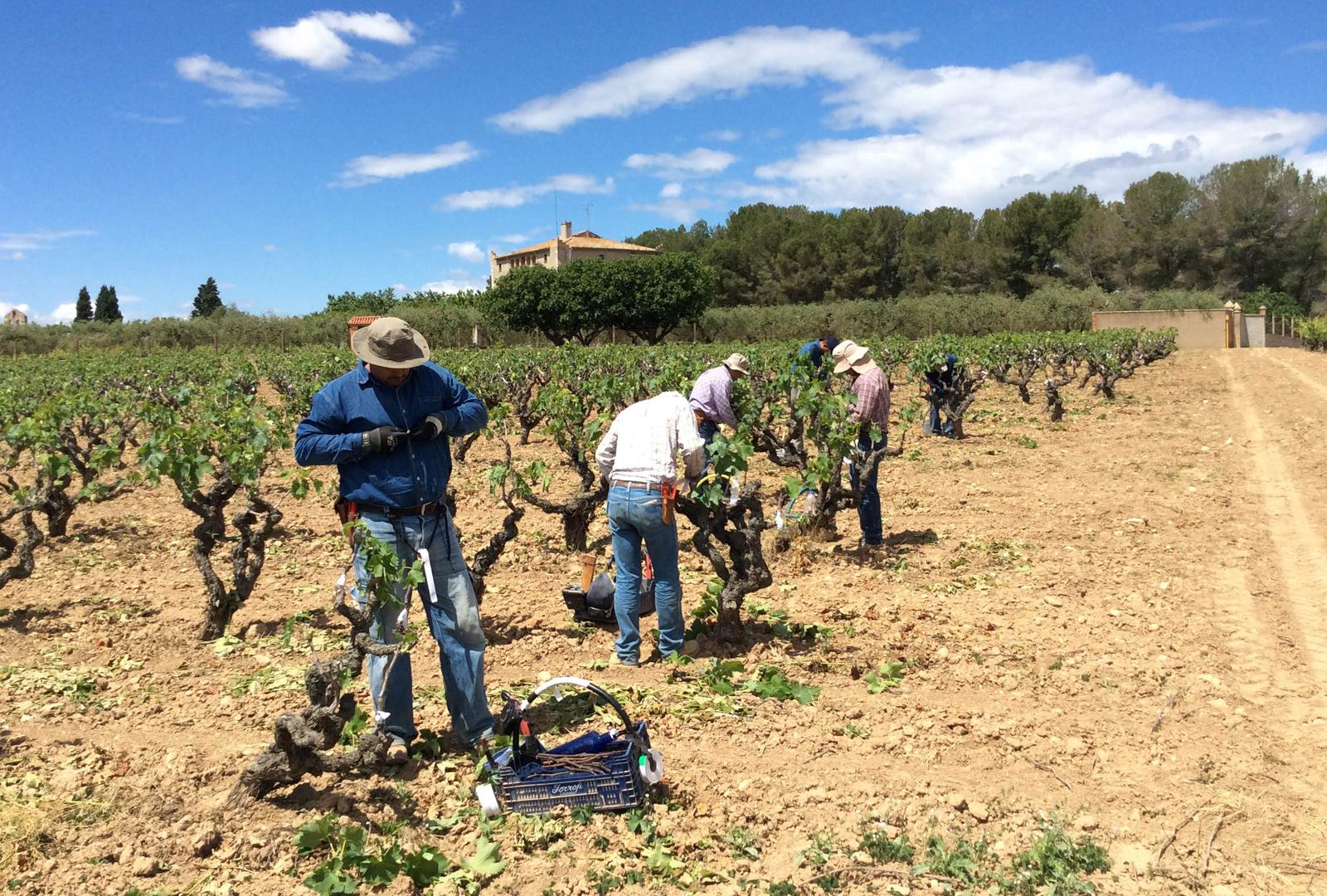 Moneu, Bodegas Torres reintroduce esta uva tinta.