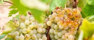 Castilla-La Mancha es, en 2016, casi la mitad del viñedo español