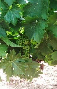 Bodega Tierras de Mollina duplicará su producción con cuatro millones de kilos de uva