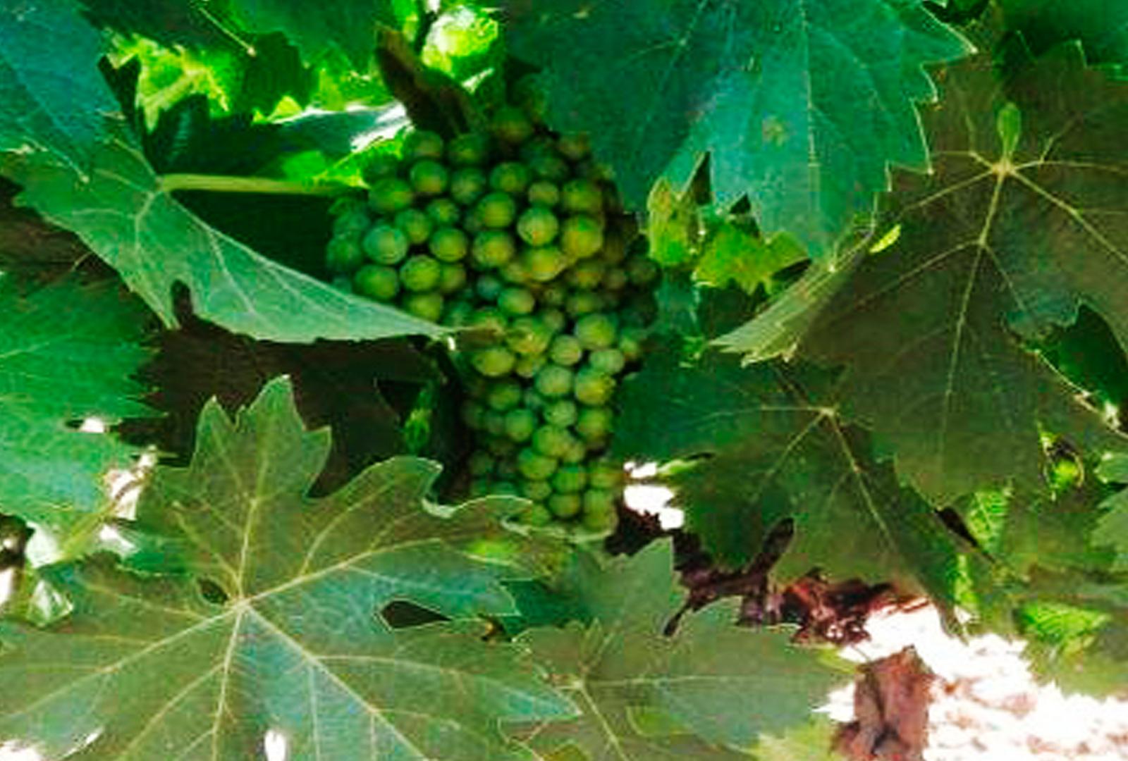 Bodega Tierras de Mollina duplicará su producción de uva.