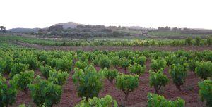 La DO Terra Alta prevé una producción cercana a los 37 millones de kilos