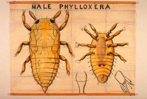 Filoxera. Phylloxera