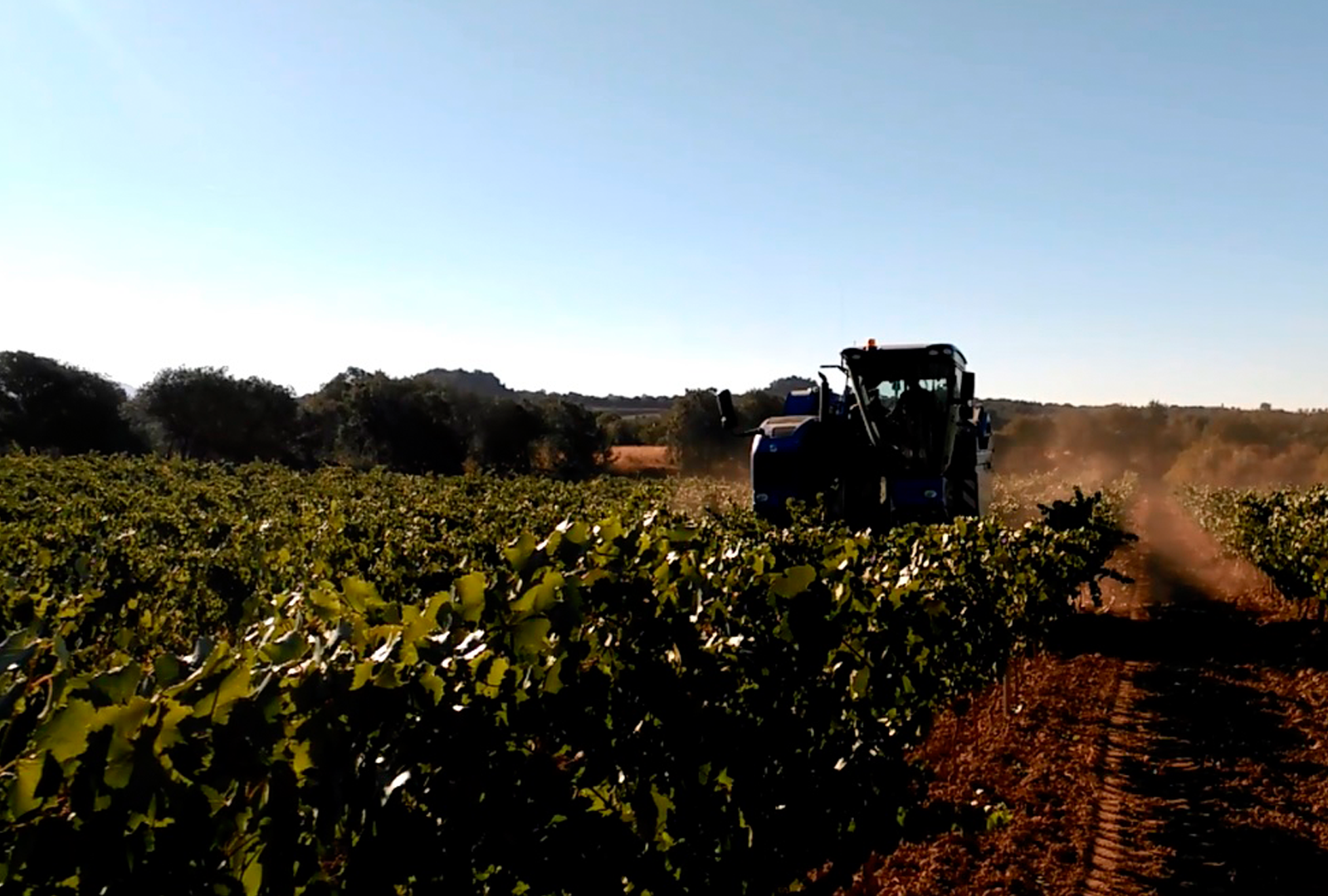 Viñas del Vero comienza la vendimia 2016.