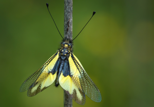 papallones_3