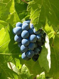 Racimo uva garnacha del Priorat