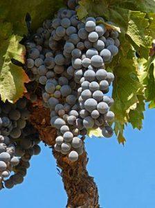 Racimo de uva garnacha del Priorat