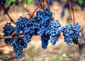 Racimo de uva merlot de la zona de Saint Emilion.