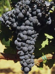 Racimo de uva graciano